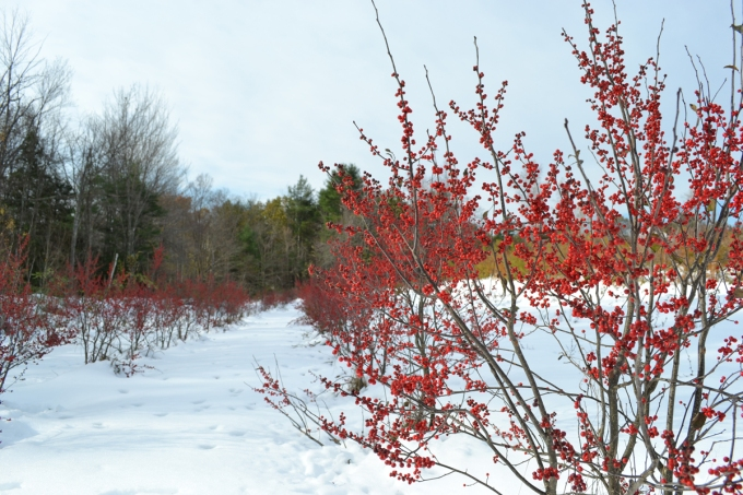 winterberry-lr